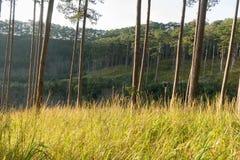 Foreste dei pini e vetro giallo Immagini Stock