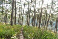 Foreste dei pini e vetro giallo Fotografie Stock Libere da Diritti