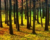 Foreste del pino al tramonto Immagini Stock Libere da Diritti