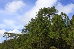 Foreste della conifera fotografia stock