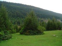 Foreste di conifere magnifiche e prati alpini immagini stock libere da diritti