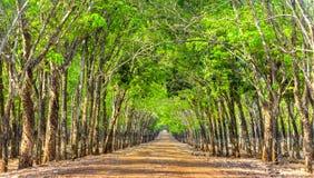 Foreste di gomma del percorso così belle Fotografia Stock Libera da Diritti