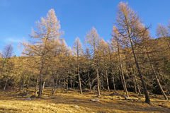 Foreste sempreverdi nella valle coperta di prima neve Il paesaggio delle dolomia in Immagine Stock Libera da Diritti