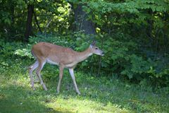 Forested doe Royalty Free Stock Photo