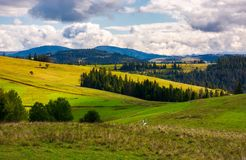 Forested grassy hills on a cloudy day. Lovely landscape of Carpathian mountains in autumn Royalty Free Stock Images