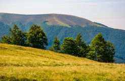 Forested hills of Carpathian mountains. Beautiful summer landscape. beech trees on a grassy hillside meadow. mountain Apetska in the distance Royalty Free Stock Photo