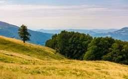 Forested hills of Carpathian mountains. Beautiful summer landscape. beech trees on a grassy hillside meadow. mountain ridge Krasna in the distance Stock Photos