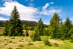Forested hills and grassy meadows in springtime. Beautiful landscape of Borzhava mountain ridge with snowy tops in the distance stock image