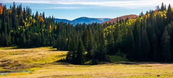 Forested landscape in autumn. Spruce trees on the meadow. panorama of mountain ridge in the distance under the bright sky Stock Image