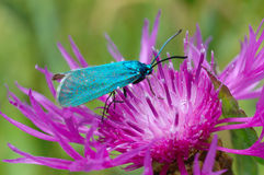 The Forester, butterfly Adscita statices stock image