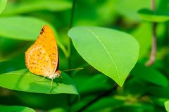 Forester butterfly perching on a leaf with antennae pointing out. Khampangpetch, Thailand royalty free stock photography