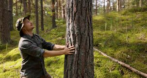 Forester checking the pine tree trunk quality. renewable resources and sustainable forest management concept