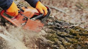 Forester cuts tree with a chainsaw, close-up