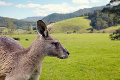 Forester Kangaroo Royalty Free Stock Photography