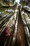 Forester in a Pacific Northwest. Forester using an auger to tell the age of a Douglas fir Royalty Free Stock Photo
