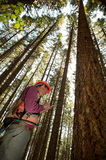 Forester in a Pacific Northwest. Forester using an auger to tell the age of a Douglas fir Stock Photography