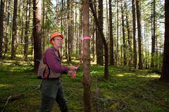 Forester in a Pacific Northwest. Forester marking Douglas fir trees with pink tape Royalty Free Stock Image