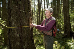 Forester in a Pacific Northwest. Forester using a tape measure to guage the girth of a Douglas fir Royalty Free Stock Image