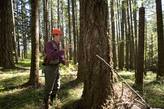Forester in a Pacific Northwest. Forester using an auger to tell the age of a Douglas fir Royalty Free Stock Photography