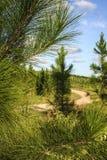 Forestery βελόνων πεύκων Στοκ Φωτογραφίες