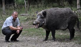 The forestman will fed up wild boar. Chortkiv - Ternopil - Ukraine - September 12, 2017. The main forester Bilivskogo forestry in the forest apples feeds wild Stock Photos