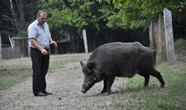 The forestman will fed up wild boar. Chortkiv - Ternopil - Ukraine - September 12, 2017. The main forester Bilivskogo forestry in the forest apples feeds wild Stock Image