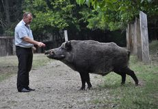 The forestman will fed up wild boar. Chortkiv - Ternopil - Ukraine - September 12, 2017. The main forester Bilivskogo forestry in the forest apples feeds wild Royalty Free Stock Image