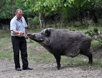 The forestman will fed up wild boar. Chortkiv - Ternopil - Ukraine - September 12, 2017. The main forester Bilivskogo forestry in the forest apples feeds wild Royalty Free Stock Photo