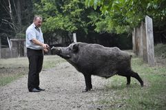 The forestman will fed up wild boar. Chortkiv - Ternopil - Ukraine - September 12, 2017. The main forester Bilivskogo forestry in the forest apples feeds wild Stock Images