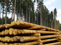 Forestry. Logs in the forest, ready for transport Royalty Free Stock Image