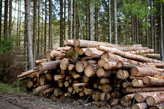 Forestry. A pile of logs recently harvested Royalty Free Stock Images