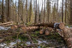 Forestry. Close-up of spruce trunks after felling Royalty Free Stock Photos
