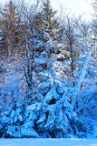 Forestry hillside after heavy snowstorm. Tree branches covered by snow on a sunny winter day Stock Image
