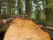 Forestry logging in progress. Newly cut end of a conifer tree trunk amongst other felled timber. Logging in progress in a woodland in Wales, UK royalty free stock image