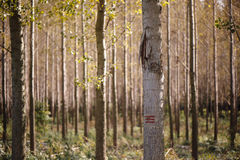 Forestry paint marking on tree trunks in woods Royalty Free Stock Image
