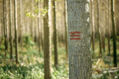 Forestry paint marking on tree trunks in woods Royalty Free Stock Images