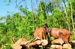 Forestry plantation, harvest time, Stock Image