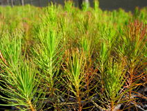 Forestry seedlings. In trays at a nursery royalty free stock photography