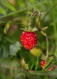 Forestry strawberries Stock Image