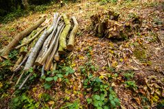Forestry work - cutting down a sweet chesnut tree in Fore Wood Nature Reserve, Crowhurst, East Sussex, England stock images