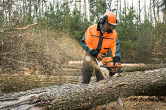 Forestry worker with chainsaw is sawing a log. Process of loggin Stock Photos