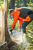 Forestry worker - lumberjack works with chainsaw. He cuts a big tree broken by wind calamity in forest. Lumberjack has protective clothes royalty free stock photos