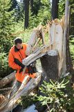 Forestry worker - lumberjack works with chainsaw. He cuts a big tree broken by wind calamity in forest. Lumberjack has protective clothes stock image