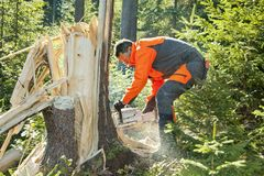 Forestry worker - lumberjack works with chainsaw. He cuts a big tree broken by wind calamity in forest. Lumberjack has protective clothes stock images