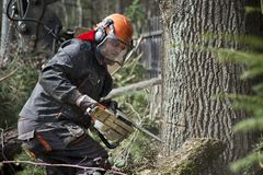 Forestry worker, lumberjack works with chainsaw. He cuts a big tree in forest stock image