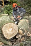 Forestry worker, lumberjack works with chainsaw. He cuts a big tree in forest royalty free stock photos
