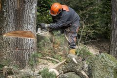 Forestry worker, lumberjack works with chainsaw. He cuts a big tree in forest royalty free stock photography