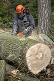Forestry worker, lumberjack works with chainsaw. He cuts a big tree in forest royalty free stock photo
