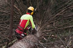 Forestry worker trimming felled spruce tree with his chainsaw. Forestry worker with protective gear trimming felled spruce tree with chainsaw Stock Photo