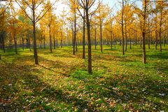 Forests. With defoliations on the ground, present a pleasant sense Royalty Free Stock Photo